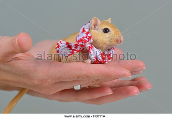 mongolian-gerbil-clawed-jird-meriones-unguiculatus-gerbil-with-a-little-f0011a