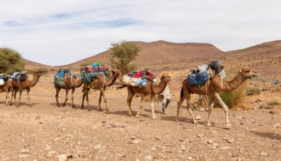 caravana-camellos-atravesando-desierto_79152-391